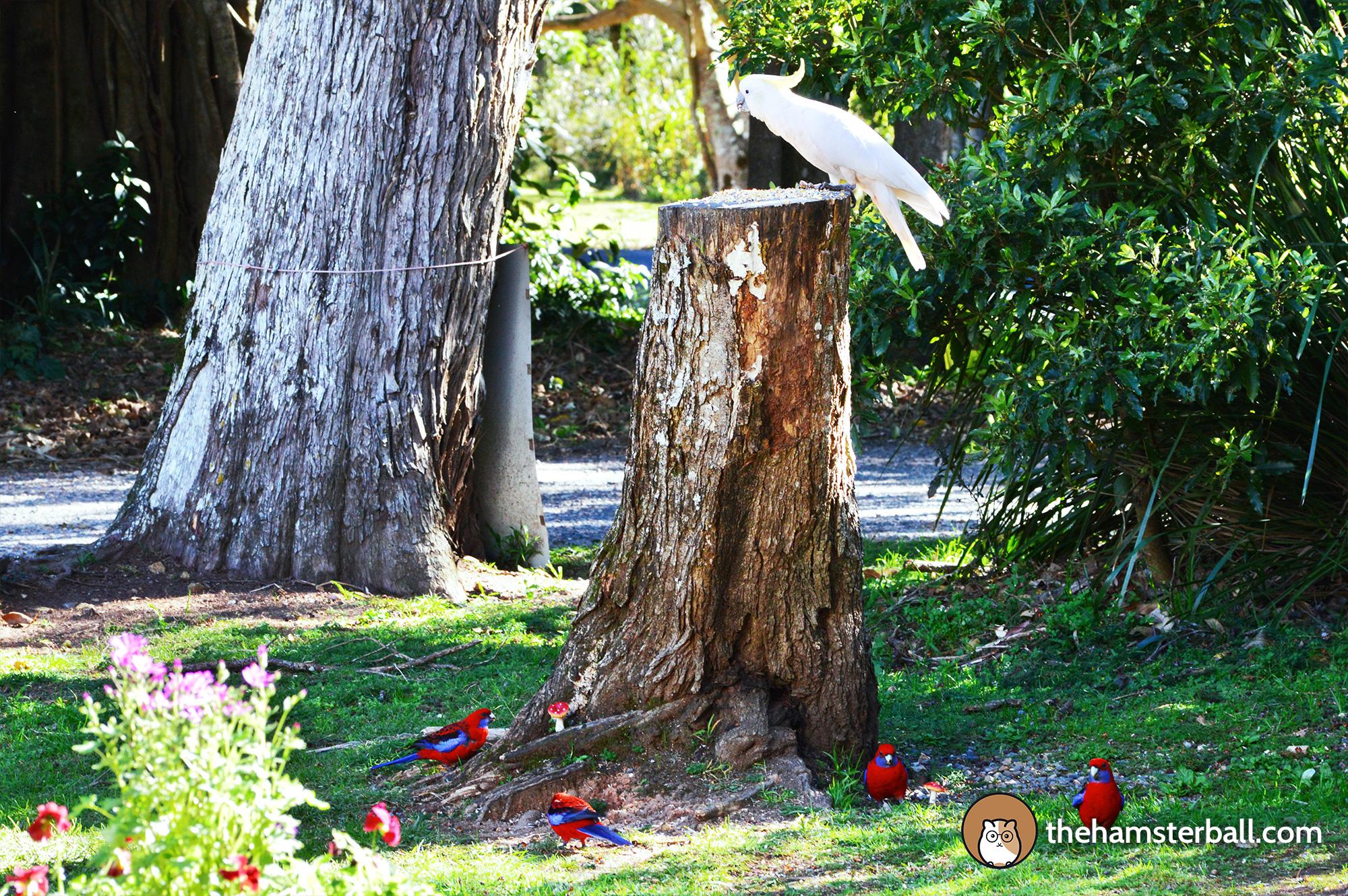 The Fudge Shop, Springbrook, cockatoos, environment, nature, crimson rosella