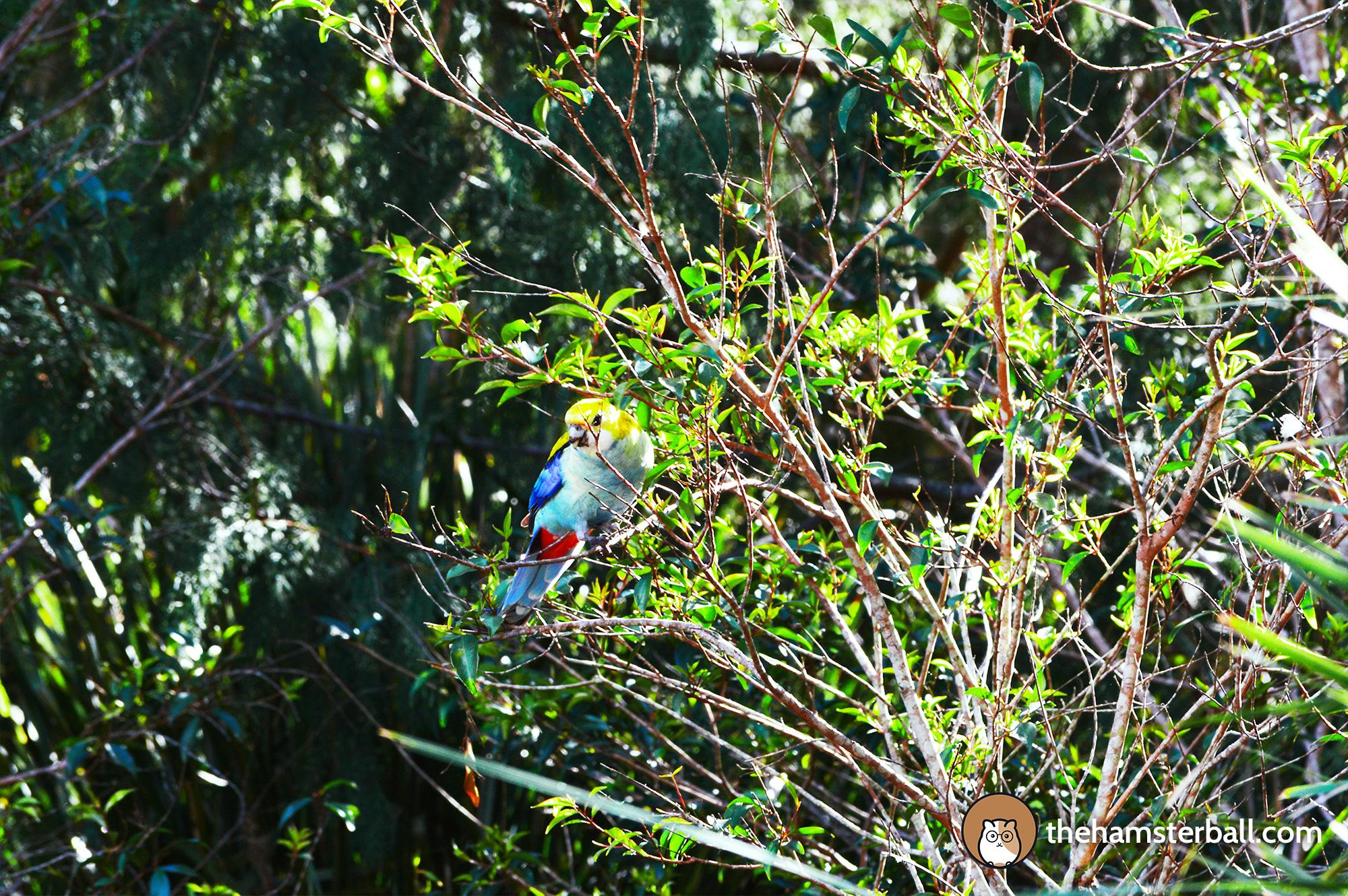 The Fudge Shop, Springbrook, cockatoos, environment, nature, crimson rosella, pale headed rosella