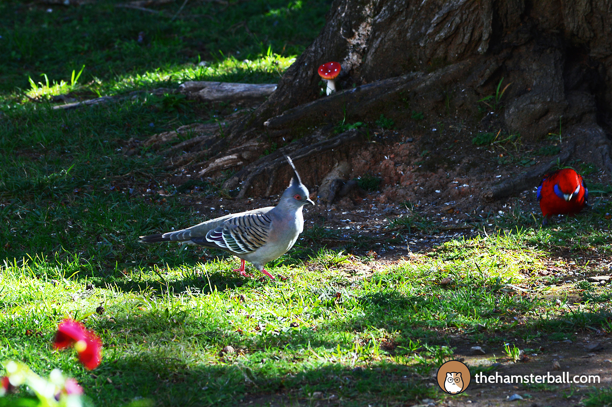 The Fudge Shop, Springbrook, cockatoos, environment, nature, crimson rosella, crested pigeon